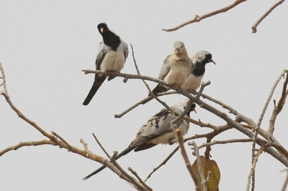 Three male Namaqua doves and one female, second from left, Gambia, 9 February 2012