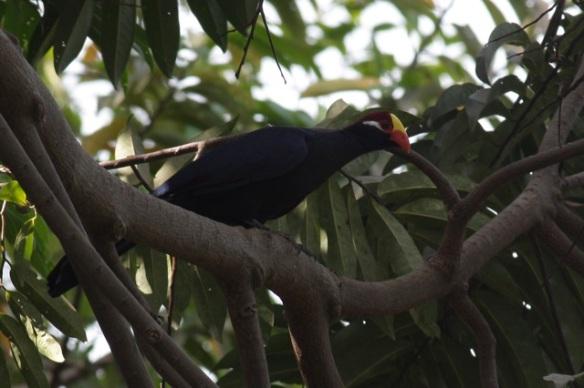 Violet turaco, Abuko reserve, 3 February 2012