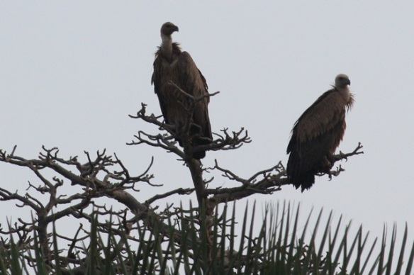 White-backed vultures, Gambia river, 9 February 2012