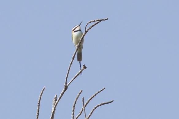 White-throated bee-eater, Gambia river, 11 February 2012