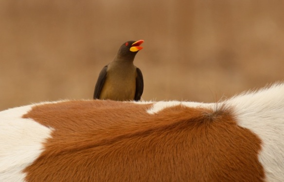 Yellow-billed oxpecker, the Gambia, 12 February 2012