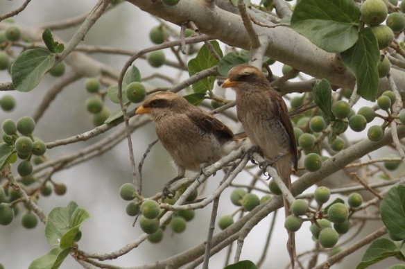 Yellow-billed shrikes, the Gambia, 9 February 2012