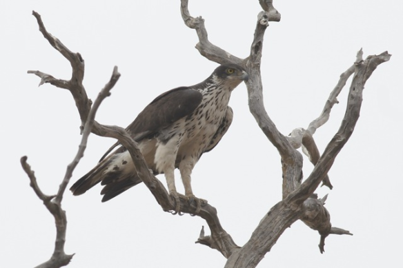 African hawk-eagle, the Gambia, 8 February 2012