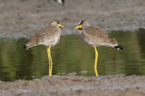 African wattled lapwings, the Gambia, 13 February 2012
