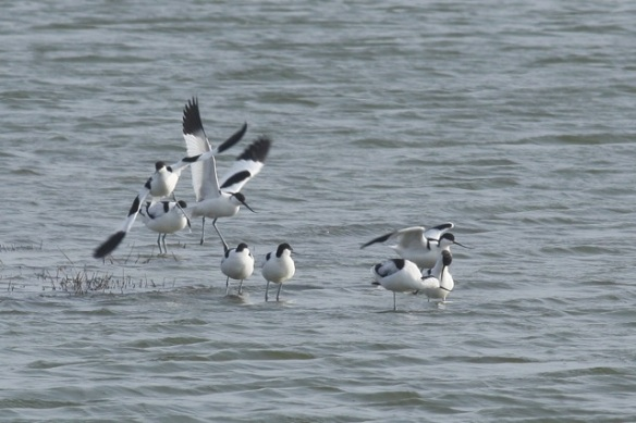Avocets, Putten near Petten, 17 March 2012