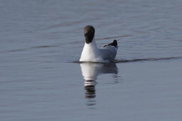 Black-headed gull, Polders bij Poelgeest, 25 March 2012
