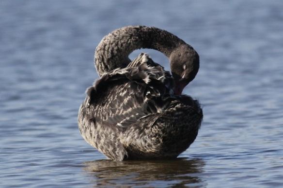 Black swan juvenile, Polders bij Poelgeest, 25 March 2012