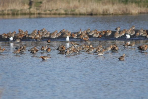 Black-tailed godwits and black-headed gulls, Polders bij Poelgeest, 25 March 2012