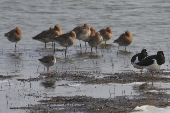 Black-tailed godwits, redshank, and oystercatchers, Putten near Petten, 17 March 2012