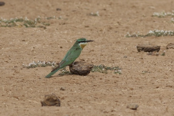 Blue-cheecked bee-eater, the Gambia, 8 February 2012