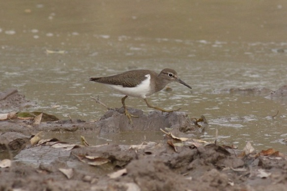 Common sandpiper, Njau, the Gambia, 8 February 2012