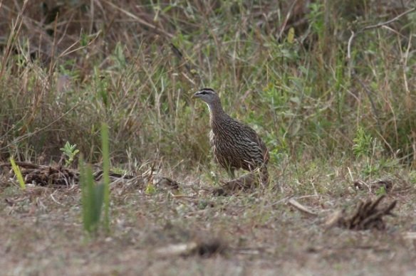 Double-spurred francolin, the Gambia, 13 February 2012