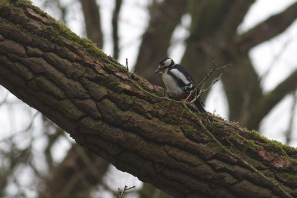 Female great spotted woodpecker, Amsterdamse Waterleidingduinen, 18 March 2012