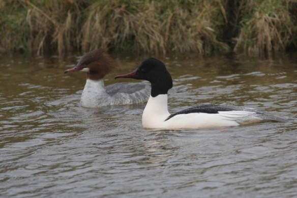 Goosander female and male, Amsterdamse Waterleidingduinen, 18 March 2012