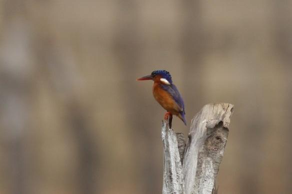 Malachite kingfisher, near Kartong Bird Observatory, the Gambia, 14 February 2012