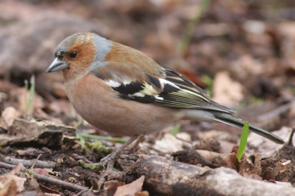 Male chaffinch, Amsterdamse Waterleidingduinen, 18 March 2012