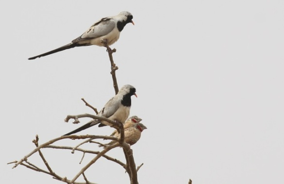 Namaqua doves and cut-throat finches, the Gambia, 8 February 2012