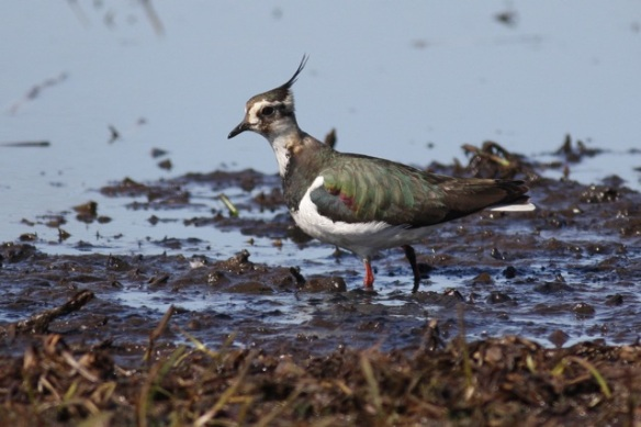 Northern lapwing, Polders bij Poelgeest, 25 March 2012