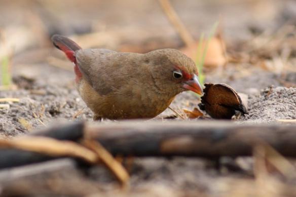 Red-billed firefinch female, Brufut Woods, in the Gambia, 4 February 2012