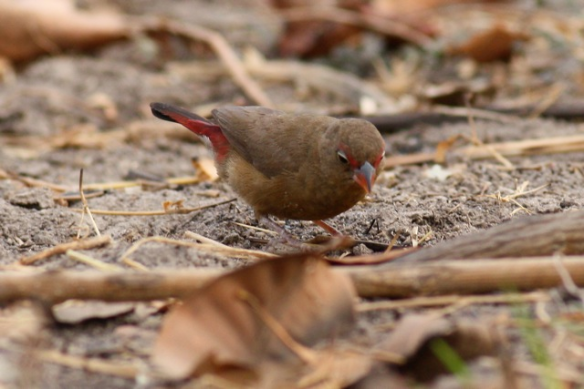 Red-billed firefinch female, Brufut Woods, the Gambia, 4 February 2012