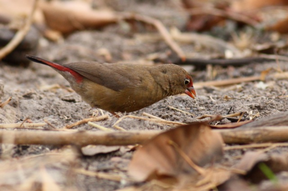 Red-billed firefinch female, the Gambia, 4 February 2012
