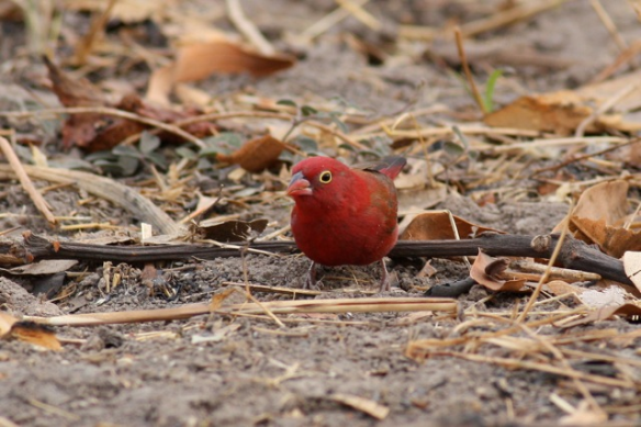 Red-billed firefinch male, Gambia, 4 February 2012