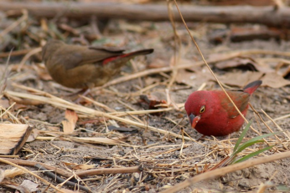 Red-billed firefinch male with female in the background, the Gambia, 4 February 2012