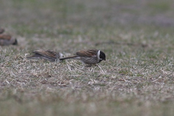 Reed buntings, Amsterdamse Waterleidingduinen, 18 March 2012