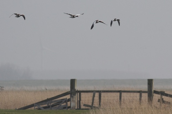 Shelducks, meadow, Putten near Petten, 17 March 2012