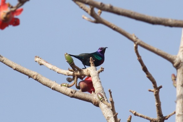 Splendid sunbird male, the Gambia, 13 February 2012