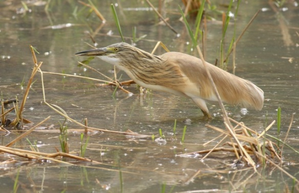 Squacco heron, the Gambia, 9 February 2012