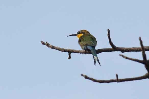 Swallow-tailed bee-eater, Gambia, 13 February 2012