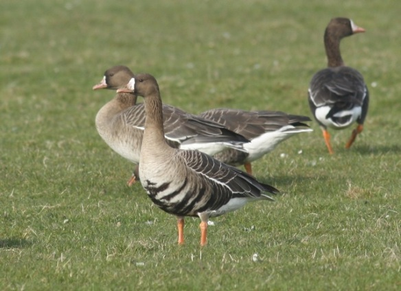 White-fronted geese, adult in front, near De Putten, 17 March 2012