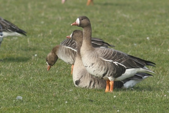 White-fronted geese, near De Putten, 17 March 2012