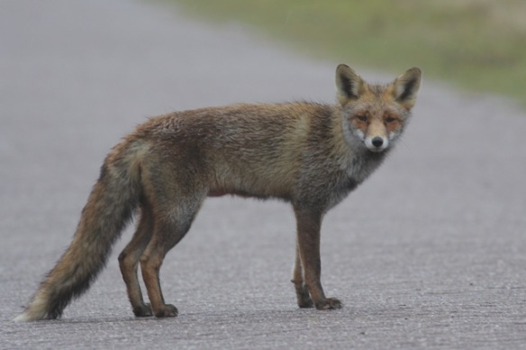 Young red fox, Amsterdamse Waterleidingduinen, 18 March 2012