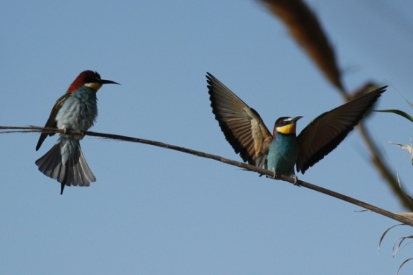Bee-eaters, Tavira, 13 April 2012