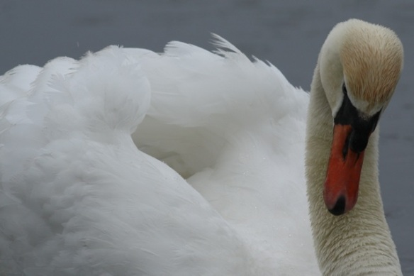 Angry mute swan, De Wilck, 29 April 2012