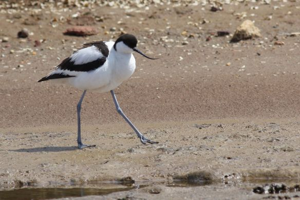 Avocet, Tavira, 7 April 2012
