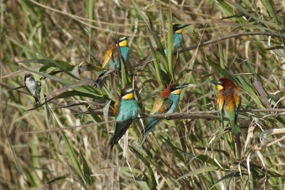 Bee-eaters and house martin, Tavira, 13 April 2012