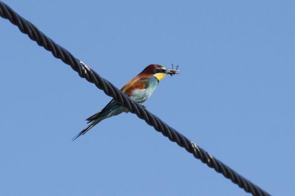 Bee-eater, Tavira, 9 April 2012