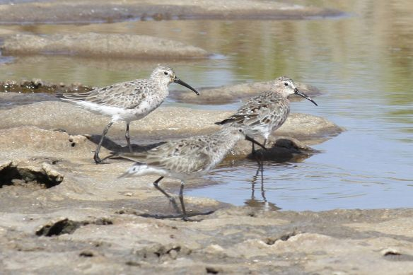 Curlew sandpipers, Tavira, 8 April 2012