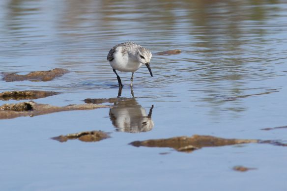 Sanderling, Tavira salt pan, 9 April 2012