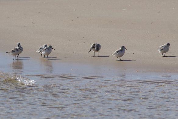 Sanderlings, Tavira island, 10 April 2010