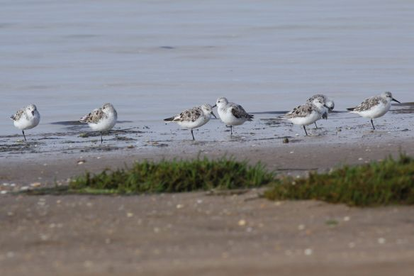 Sanderlings, Cacela Velha, 11 April 2012
