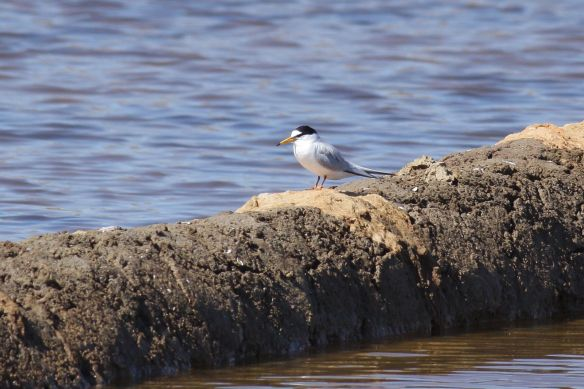 Little tern, Tavira, 9 April 2012