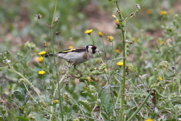European goldfinch, Tavira, 7 April