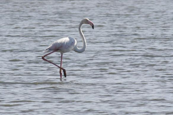 Flamingo, Tavira, 7 April 2012