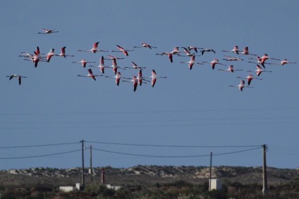 Flamingos flying, Tavira, 13 April 2012