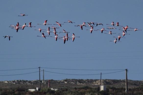 Flamingos flying, Tavira, 13 April 2012