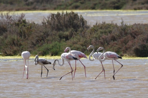 Flamingos in salt pan, Tavira, 13 April 2012